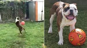 'Ollie' The Bulldog Has A Better First Touch Than You