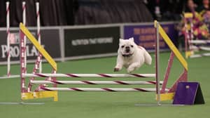 Rudy The Bulldog Defies Breed's Stereotypes With Speedy Agility Run