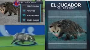 Possum Invades The Pitch During Mexican League Game, Wins 'Man Of The Match'