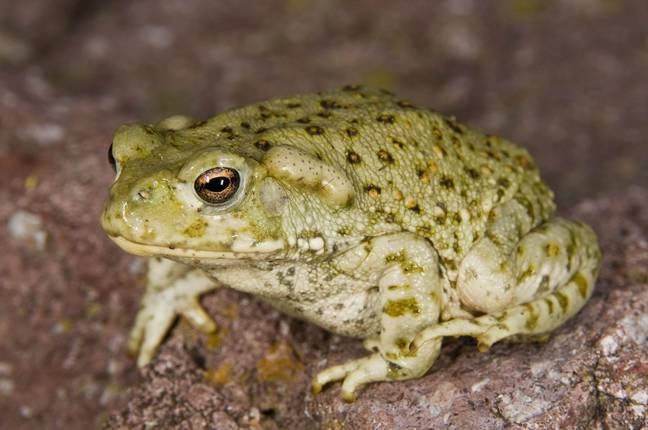 The Sonoran Desert toad. Credit: PA