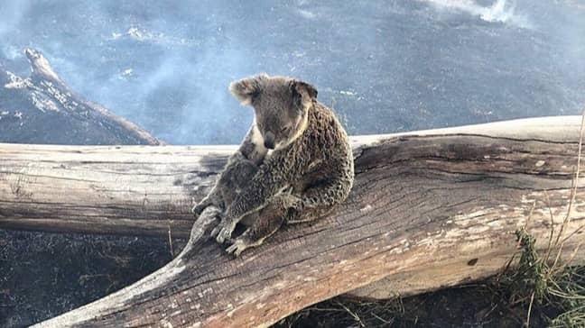 Koala Tries To Protect Her Baby From Bushfires In Australia. Credit: Wildcare Australia Inc.