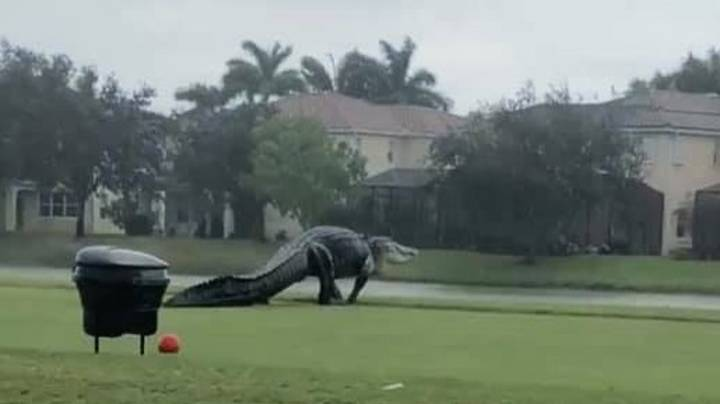 This Giant Alligator Just Casually Strolled Across A Golf Course In Florida