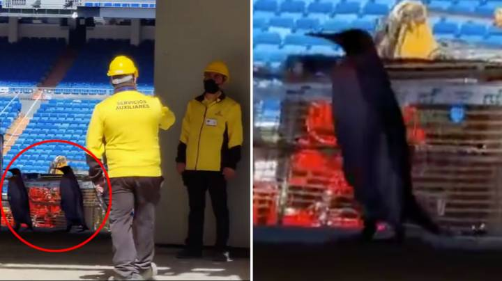 Penguins Spotted Wandering Around The Bernabeu Stadium And There's Even Footage To Prove It