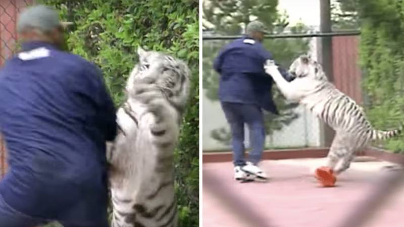 Video Of Mike Tyson Wrestling His Bengal Tiger Is Everything You'd Imagine