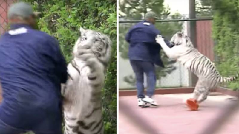 Video Of Mike Tyson Wrestling His Bengal Tiger Is Next Level