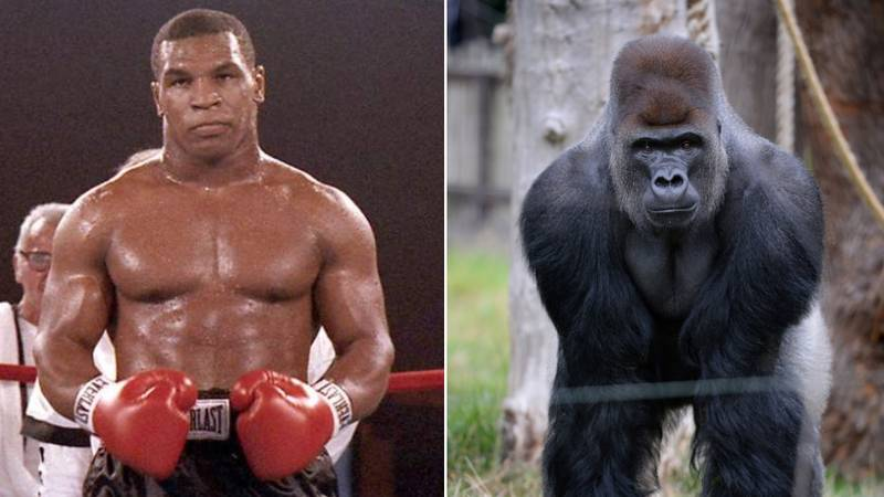 Mike Tyson Genuinely Tried To Fight A Silverback Gorilla For $10,000