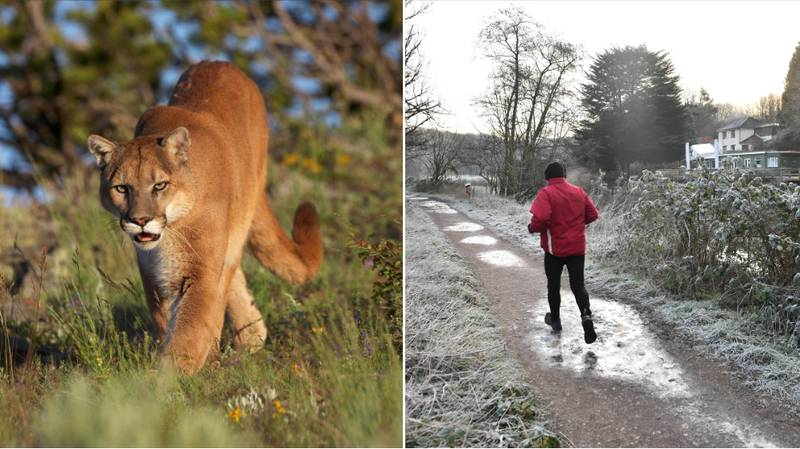 Brazilian Jiu-Jitsu Trained Jogger Kills Cougar With Bare Hands After It Attacks Him